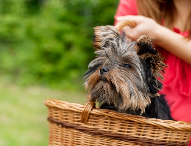 Yorkshire terrier in mand