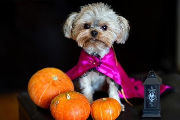 Yorkshire terrier met een kapsel in carnavalskleding tegen de achtergrond van halloween-versieringen