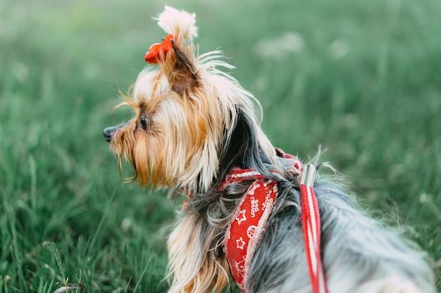 Yorkshire terrier op een wandeling aan de leiband