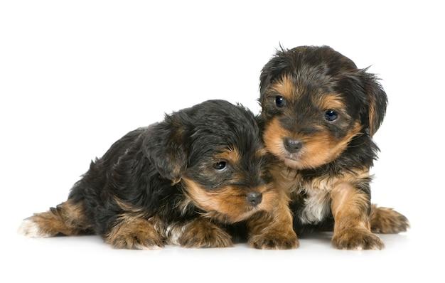 Yorkshire terrier puppies met 1 maand. geïsoleerd hondportret