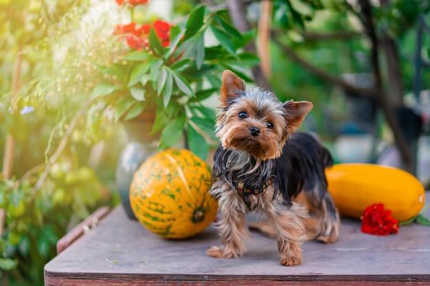 Yorkshire terrier puppy op de tafel met pompoenen