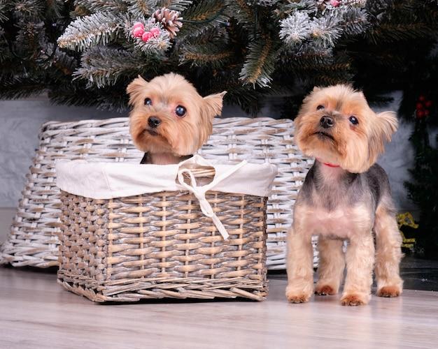Yorkshire terrier-puppy's onder de kerstboom.