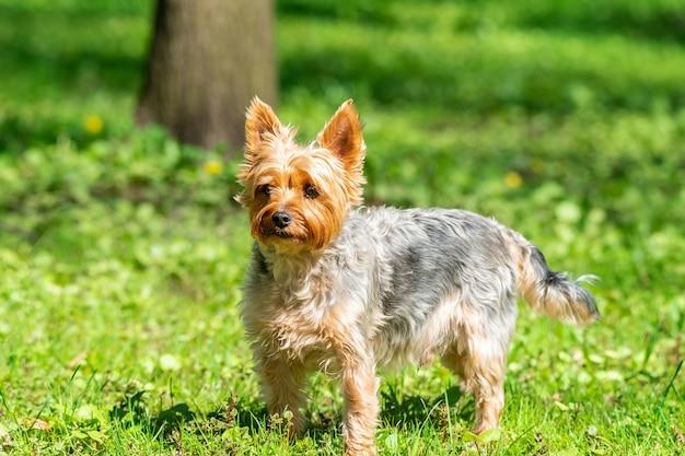 Yorkshire terrier speelt in het park op het gras.