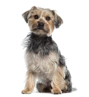 Yorkshire terrier zittend