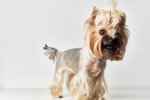 Yorkshire terrier zoogdieren vriend van menselijke geïsoleerde achtergrond