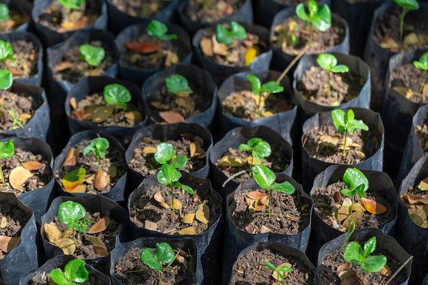 Young arabica trees groeit in zwarte zak op de boerderij