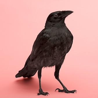 Young carrion crow - corvus corone (3 maanden) op een roze muur