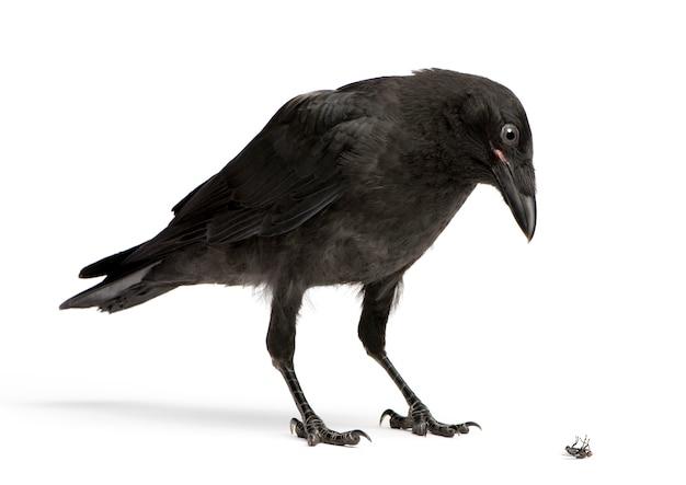 Young carrion crow looking neer op een dode vlieg