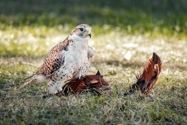 Young falcon traint voor valkerij met een speciaal speelgoed gemaakt van vogelveren