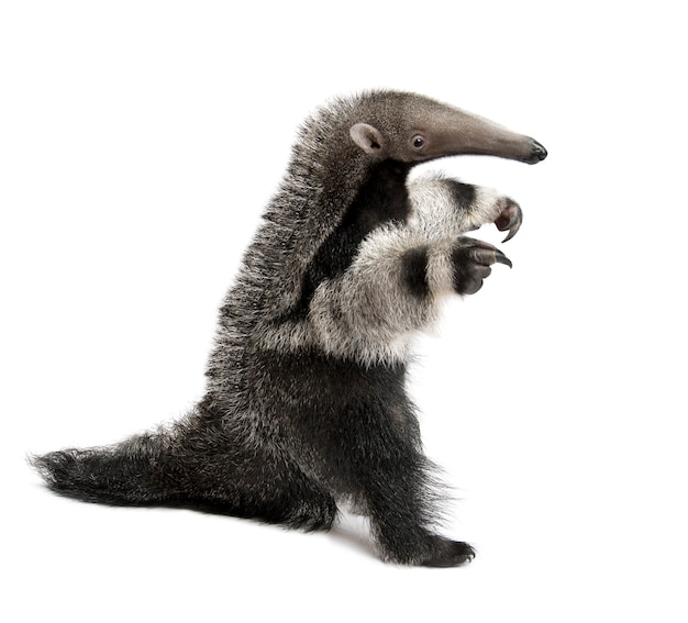 Young giant anteater, myrmecophaga tridactyla, lopen op een wit geïsoleerd,