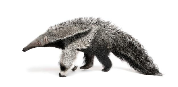 Young giant anteater - myrmecophaga tridactyla