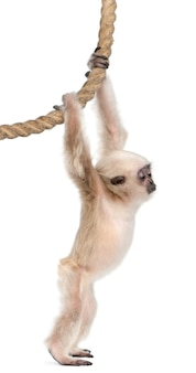 Young pileated gibbon - hylobates pileatus