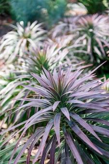 Yucca desmetiana close-up