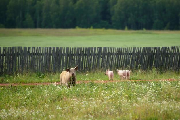 Zaaien en kleine varkens lopen in een weiland in een dorp