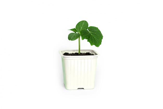 Zaailing groene spruit van komkommer met bladeren in een grijze pot op een grijze achtergrond.