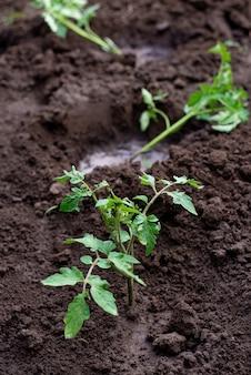 Zaailing ontspruit in de grond