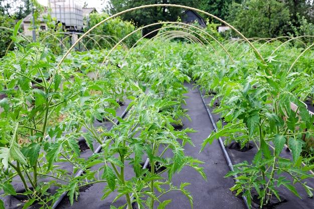 Zaailing tomaat gegroeid op een spunbond nonwoven cover.