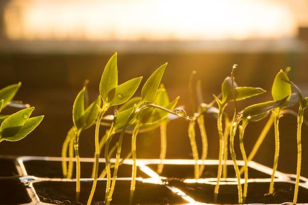 Zaailingen bij het raam, jonge plant met waterdruppels