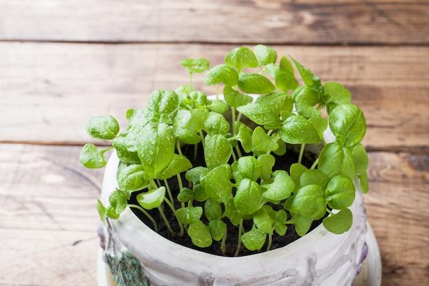 Zaailingen van basilicum in een keramische pot. groene zaailingen van geurig gras, jonge planten, bladeren en tuinieren.