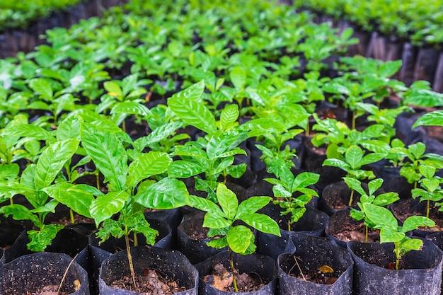 Zaailingen van koffieplanten in een kwekerij