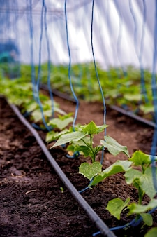 Zaailingen van komkommers in een kas op irrigatie.