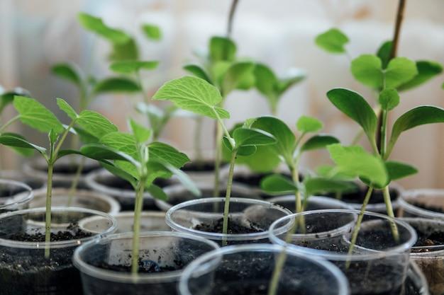 Zaailingen van planten op het raam Premium Foto