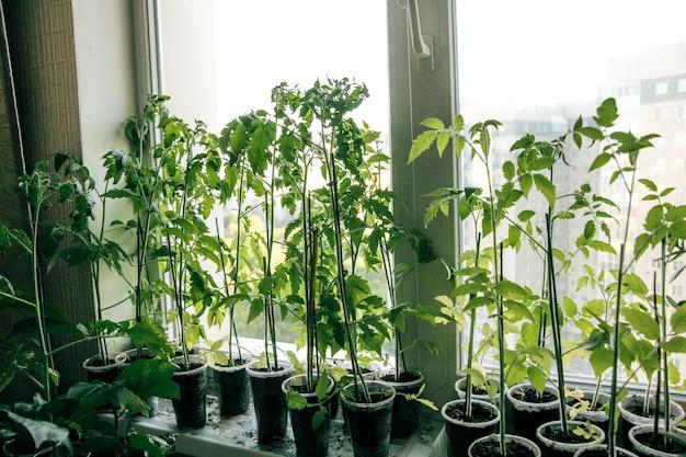 Zaailingen van planten op het raam