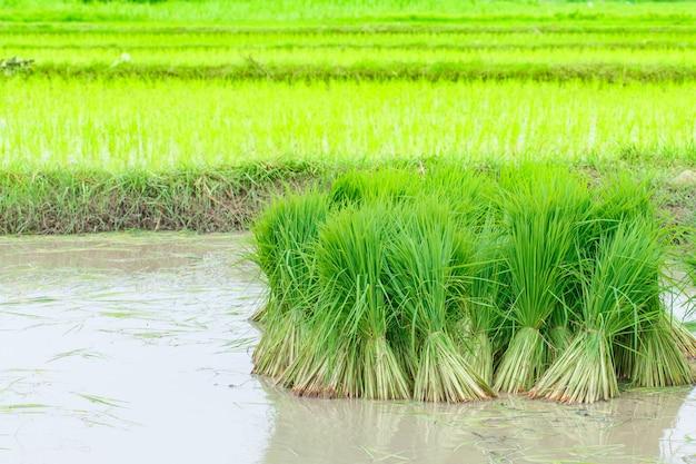 Zaailingen van rijst landbouw in rijstvelden