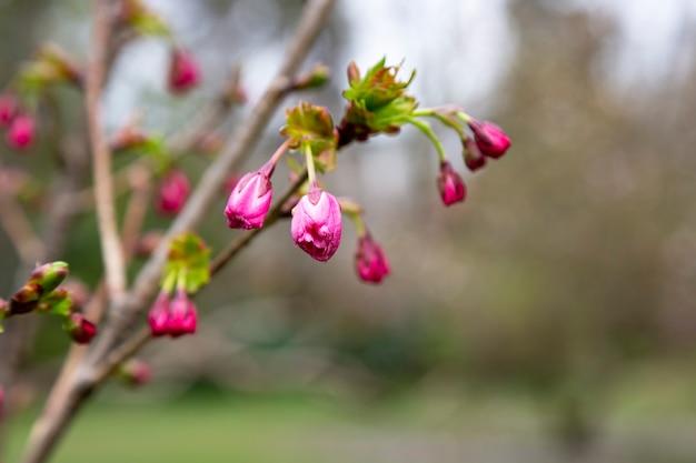Zaailingen van sakura met de naam prunus serrulata, roze knoppen op een tak, vroege lente