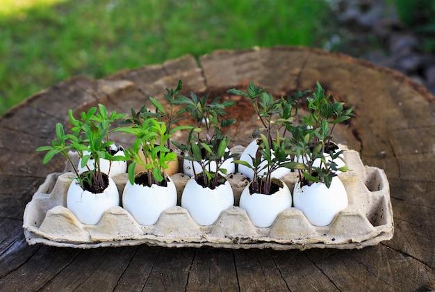 Zaailingen van tomaten in de eierschaal. plantenveredeling in eierschalen.