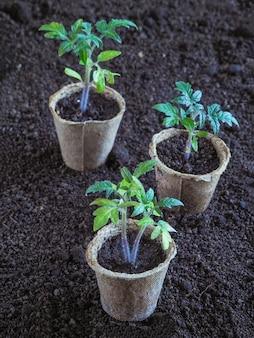 Zaailingen van tomaten in turfpotten. groenteteelt.