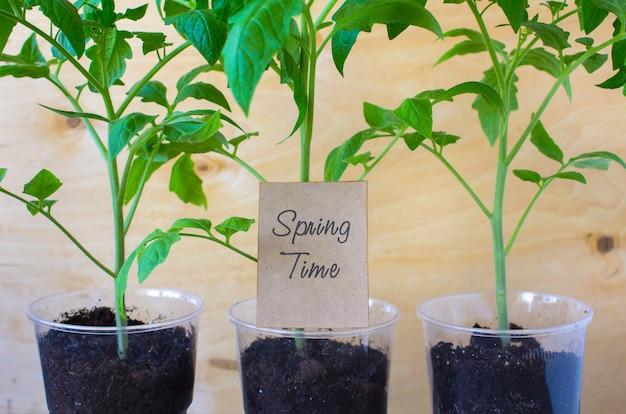 Zaailingen van tomaten lente