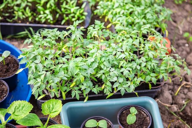 Zaailingen voor het planten van tuinplanten in het voorjaar.