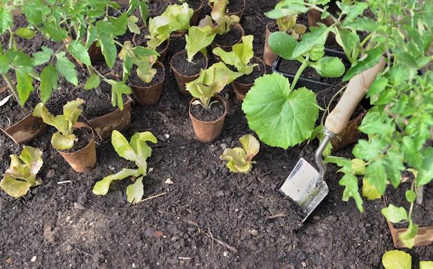 Zaailingsgroenten in turfpotten op de grond met een troffel om in tuin worden geplant