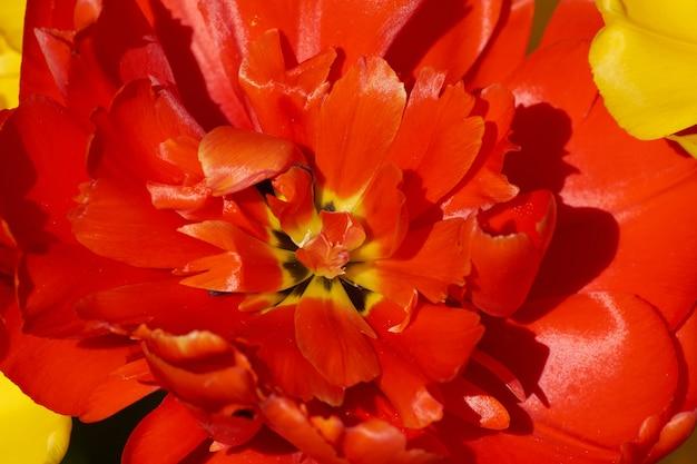 Zacht abstract beeld van mooie rode tulp. macro met extreem ondiepe scherptediepte.