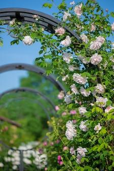 Zacht roze rozen tegen blauwe hemel. rozentuin in praag