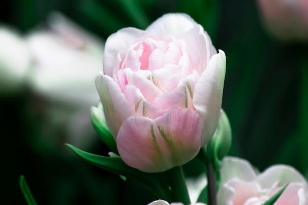 Zacht roze tulp in een tuin