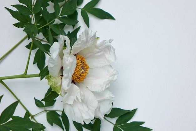 Zacht wit mooi pioenrozen frame met groene bladeren op een witte achtergrond met kopie ruimte, plat leggen