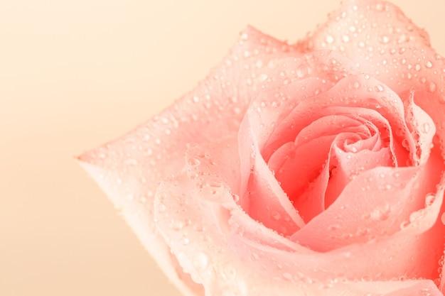 Zachte achtergrond van roze rozen