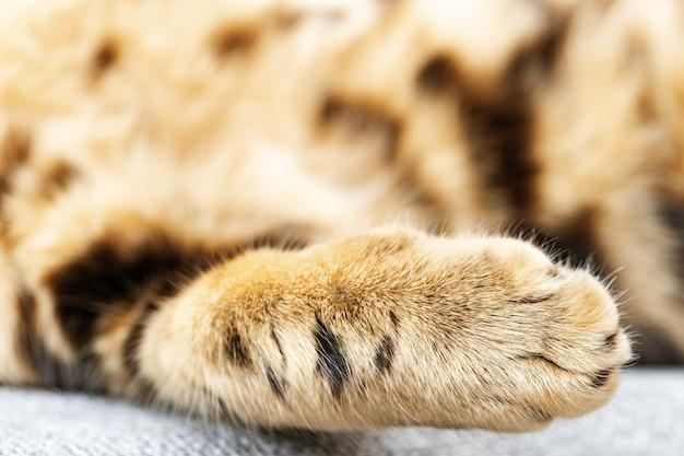 Zachte en donzige kattenpoot