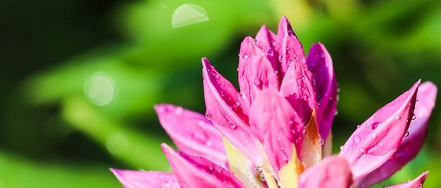 Zachte focus abstracte bloemenachtergrond roze rododendron bloemknop met dauwdruppels macro bloemen