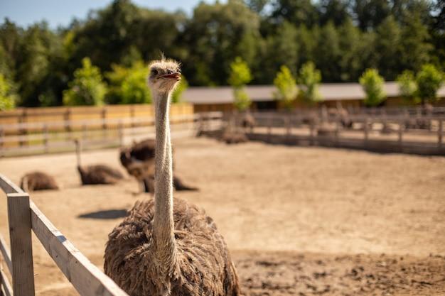 Zachte focus van een struisvogel op een boerderij op een zonnige dag