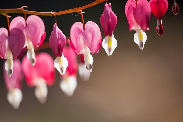 Zachte focus van hartvormig bloeden hart bloem roze en witte kleur in de zomer.