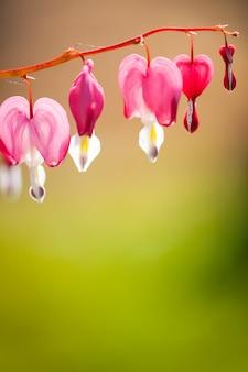 Zachte focus van hartvormige bloeden hart bloem