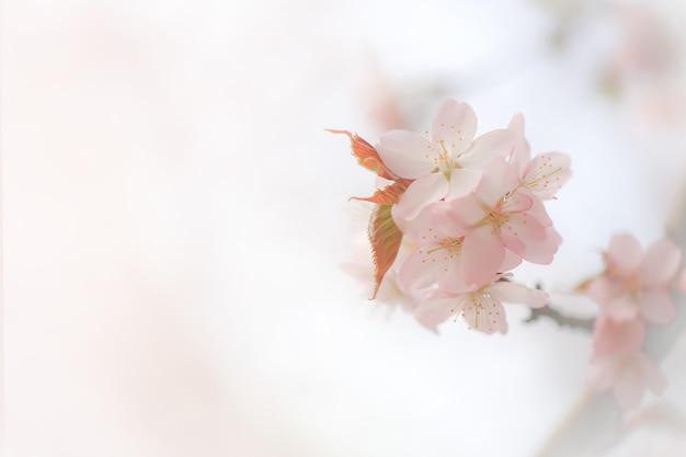 Zachte lente achtergrond vervagen bloeiende takken van kersen sakura kopie ruimte