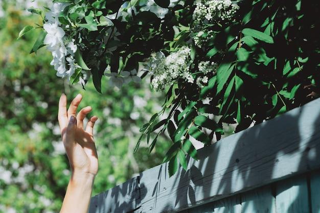 Zachte meisjeshand met takken van bloeiende lijsterbes en appelboom achter blauwe houten omheining in zonnige dag. toneel rustieke groene achtergrond met close-up van bloei de witte bloemen. rijke vegetaties in het voorjaar