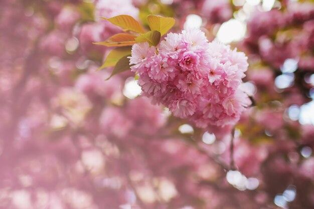 Zachte nadruk cherry blossom of sakura-bloem