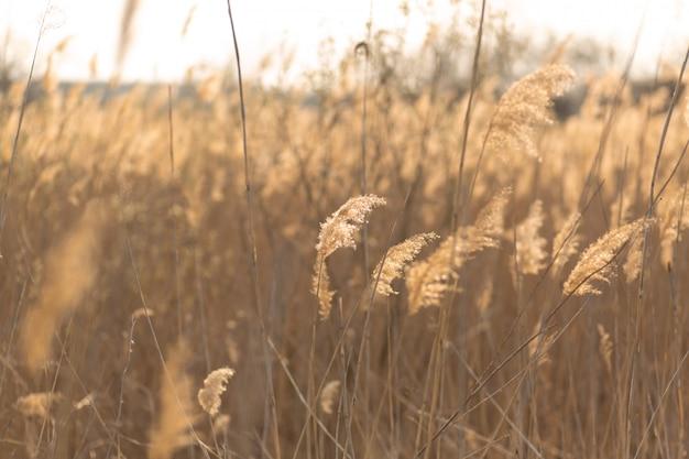 Zachte nadruk van rietstelen die in de wind bij gouden zonsonderganglicht blazen