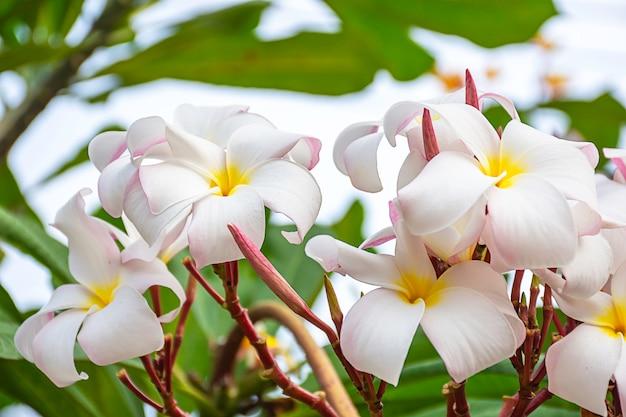 Zachte roze bloemen of plumeria-obtusa in tuin.