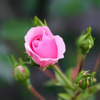 Zachte roze roos bonica met toppen in de tuin perfect voor achtergrond van wenskaarten voor verjaardag